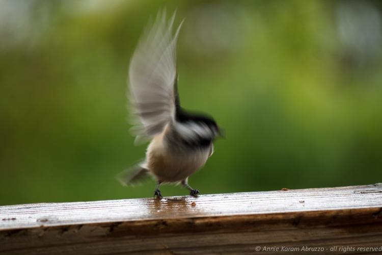 Chickadee in Motion